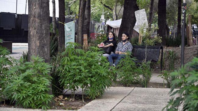 Meksiko berencana melegalkan ganja untuk kebutuhan pengobatan dan rekreasi.