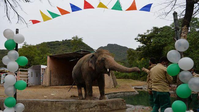 Kaavan, gajah kesepian yang diduga hidup dalam kandang tak layak hingga mengalami gangguan jiwa, akan dipindahkan ke Kamboja.