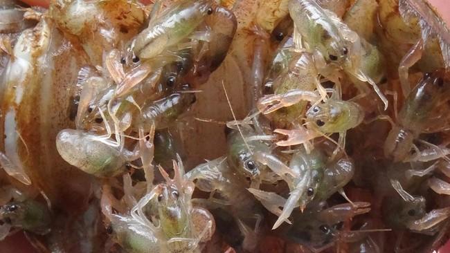 Luhut Buka Peluang Lanjutkan Ekspor Benih Lobster Edhy