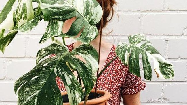7 Cara Merawat Janda Bolong Agar Makin Subur Dan Indah Untuk Pemula
