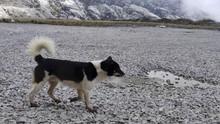 Anjing Bernyanyi Papua Langka, Ada Relasi dengan Australia