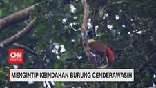 VIDEO: Melihat Keindahan Burung Cendrawasih