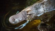 9 Fakta Platipus, Hewan Terancam Punah yang Tak Punya Perut