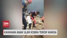 VIDEO: Kawanan Anak Ular Kobra Teror Warga