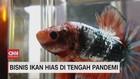 VIDEO: Bisnis Ikan Hias di Tengah Pandemi