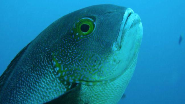 Peneliti temukan ikan kakap tertua di dunia dengan usia 81 tahun, selama ini ikan tertua berusia 60 tahun.
