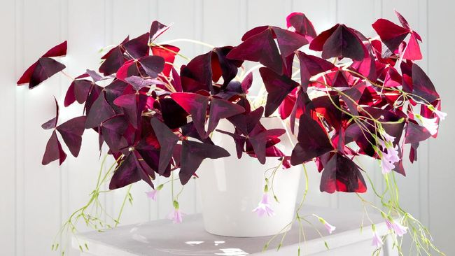 Tidak semua tanaman hias didominasi warna hijau, terdapat sejumlah tanaman hias berwarna ungu yang cocok untuk mencerahkan rumah Anda.