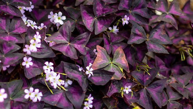 Daun tanaman Oxalis triangularis yang menyerupai sayap kupu-kupu berwarna ungu menawan akan menutup di malam hari dan mekar terbuka di pagi hari.