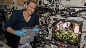 NASA Panen Lobak di  Luar Angkasa