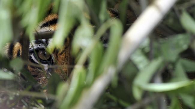 Dua harimau sumatra yang berkeliaran hingga pemukiman berhasil masuk perangkap BKSDA di Danau Kembar, Kabupaten Solok, Sumatera Barat.