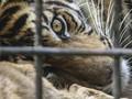 FOTO: Misi Evakuasi Harimau Sumatra Masuk Perangkap di Solok