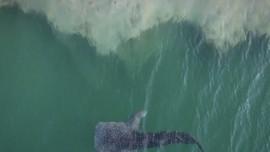 VIDEO: Hiu Paus 6 meter Terjebak di Perairan Abu Dhabi