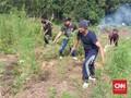 Ladang Ganja 5 Hektare Ditemukan di Madina, Pasok 4 Lapas