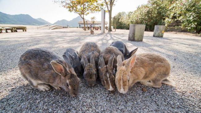 Setelah tak lagi menjadi lokasi laboratorium kimia rahasia, kini Pulau Okunoshima menjadi Pulau Kelinci yang ramai dikunjungi turis.