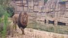 VIDEO: 4 Singa dan 2 Orang Penjaganya Positif Covid-19