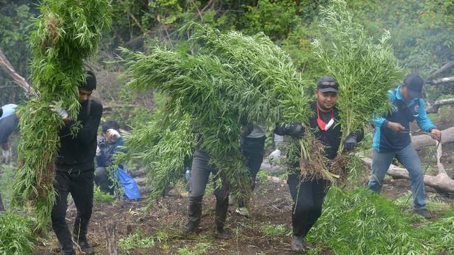 BNN Provinsi Aceh memusnahkan empat hektare ladang ganja berisi seribuan batang, dengan ketinggian berkisar satu hingga dua meter.