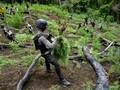 FOTO: Pemusnahan Ladang Ganja di Aceh Besar