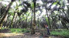 BPDPKS Salurkan Rp2,67 T untuk Perkebunan Sawit Rakyat