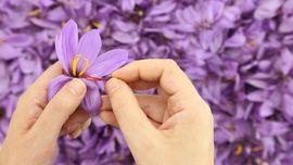 Memahami Penggunaan Saffron sebagai Obat Herbal