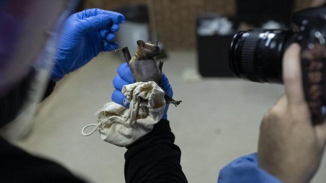 Kelelawar, satu-satunya mamalia yang bisa terbang, disebut sebagai sumber virus paling mematikan buat manusia, namun tidak membahayakan dirinya sendiri.