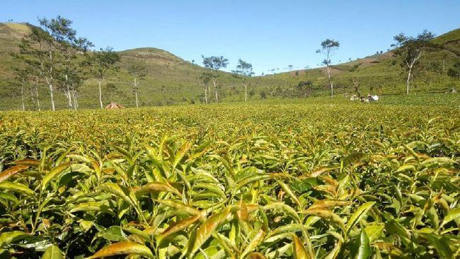 Kementerian Perdagangan melihat potensi ekspor teh, kopi, dan kakao ke Inggris pascabrexit. Terutama, setelah lockdown dihapuskan nantinya.