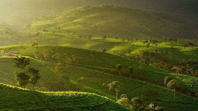 Selain ragam kebun teh di Jawa Barat, berikut pilihan kebun teh di Jawa Tengah yang bisa dikunjungi.