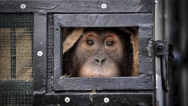 Jemput Orangutan, Petugas BKSDA Sumut Diserang Ormas