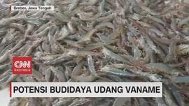 VIDEO: Potensi Budidaya Udang Vaname