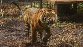 Polisi Periksa Saksi Kasus Harimau Lepas di Singkawang