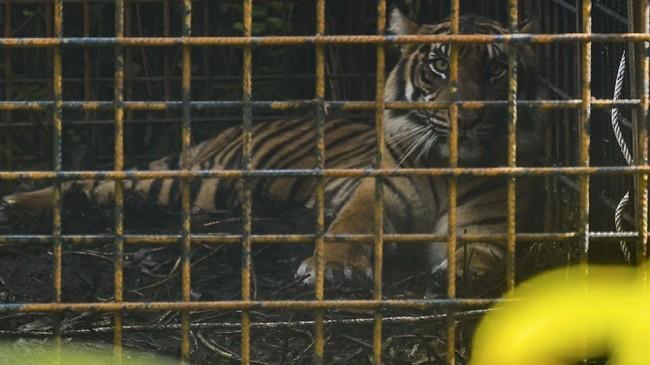 Harimau Sumatra Corina sempat terkena jerat lalu dirawat selama sembilan bulan. Akhir pekan lalu si kucing besar itu pulang ke rimba.