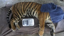 Viral Harimau di Medan Zoo Kurus dan Makan Rumput