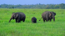 TN Way Kambas Masih Ditutup, Kawanan Gajah Nikmati Ketenangan