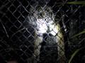 FOTO: Seekor Harimau Sumatera Dievakuasi di Aceh