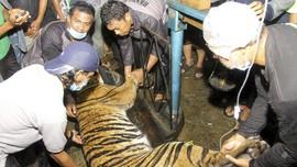 Kronologi Penangkapan Dua Harimau Lepas di Singkawang
