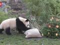 VIDEO: Hewan di Kebun Binatang Jerman Dapat Kado Natal