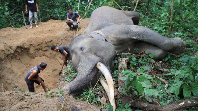 Jumlah gajah yang mati terus bertambah di Aceh. Beberapa ahli menilai bahwa gajah sudah tidak betah lagi berada di hutan.