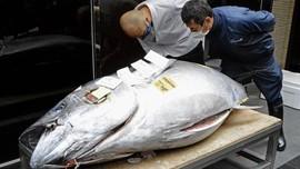 Tuna Sirip Biru Terjual Rp2,8 M di Pasar Lelang Jepang