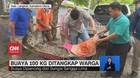 VIDEO: Buaya 100 Kg Ditangkap Warga