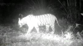 VIDEO: Lagi, Harimau Masuk Permukiman Warga di Bahorok
