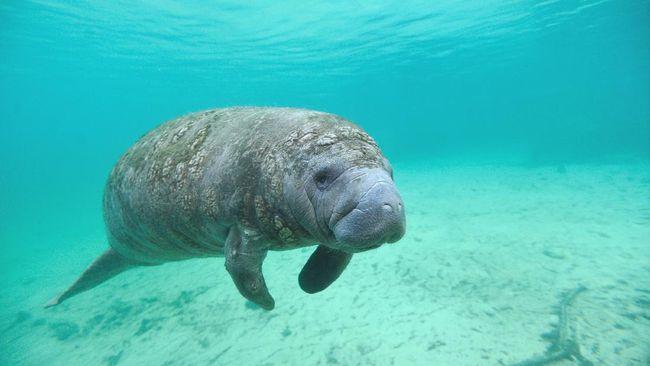 Seekor lembu laut (manatee) dengan tubuh penuh coretan dengan bertuliskan 'Trump' ditemukan di Florida, AS.