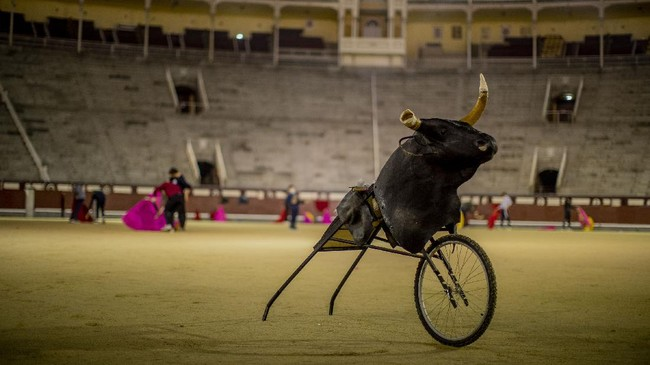 Sekolah menjadi matador dalam budaya adu banteng di Spanyol berusaha bertahan menghadapi dua badai: pandemi dan penurunan minat.