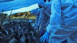 India Konfirmasi Kematian Pertama Manusia akibat Flu Burung