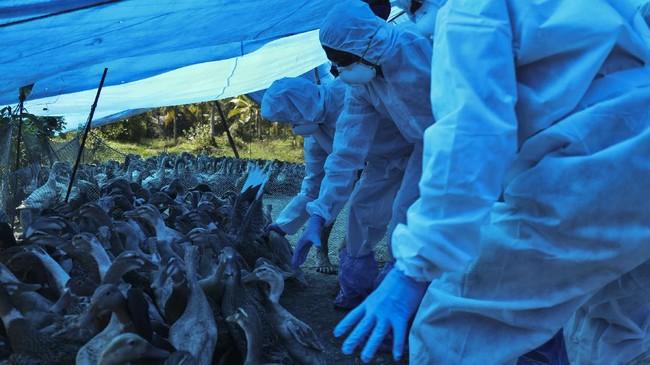 India kembali dilanda wabah flu burung ditandai dengan matinya ribuan burung di empat negara bagian.
