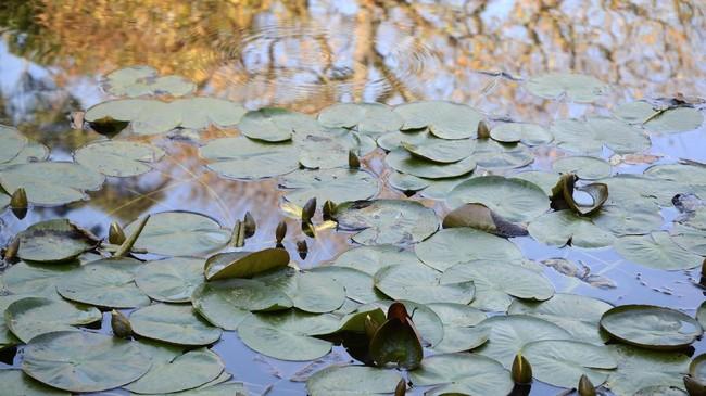 Taman bergaya Jepang menjadi destinasi di luar ruangan bagi penduduk California yang ingin rileksasi atau meditasi selama pandemi virus Corona.