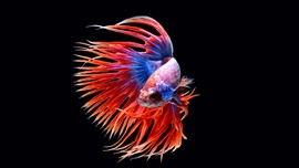 Kenali Penyebab Sirip Ikan Cupang Menjadi Putih