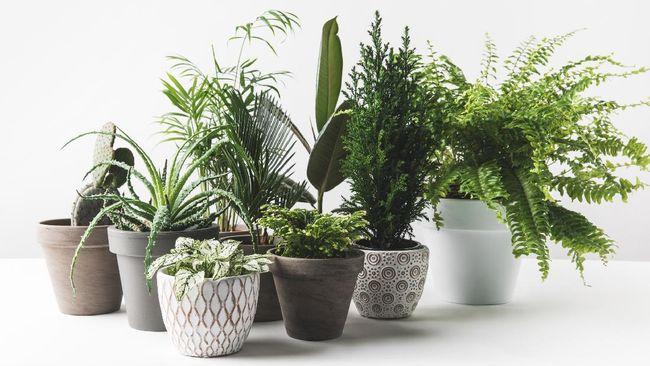 Bagi Anda yang baru mulai mencoba memelihara tanaman, berikut rekomendasi tanaman hias untuk pemula lantaran minim perawatan dan tak perlu banyak disiram.