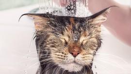Cara Memandikan Kucing Tanpa Takut Dicakar