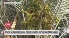 VIDEO: Pohon Kurma Berbuah Diburu Warga Untuk Promil