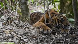 2 Harimau di Singkawang Lepas, Pawang Tewas Diserang