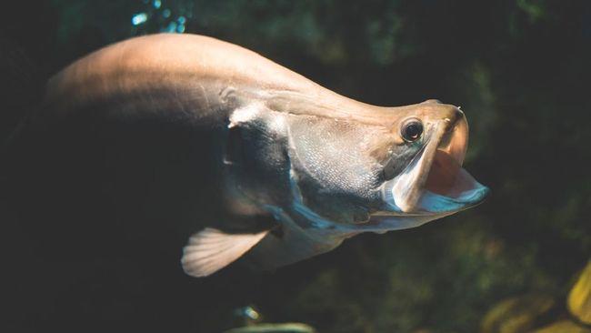 Ikan Belida Lopis Jawa, satu dari empat spesies ikan air tawar endemik Indonesia, Belida dinyatakan punah.